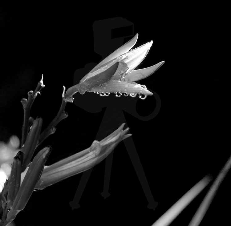 Flower With Dew - BW